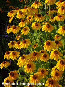 Photos of Brown Eyed Susan Flowers