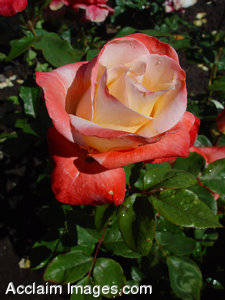 Stock photographs of Roses