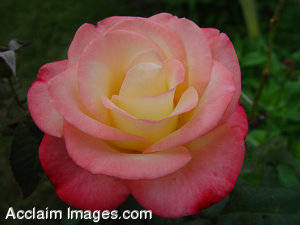 Pink Rose Photos