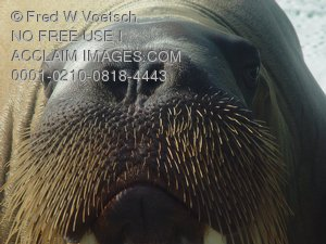 Walrus Pictures, Photos and Photographs