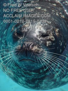 Harbor Seal Photos, Pictures and Photographs
