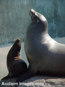 Stock Clipart Image of a Mother and Baby Sea Lion Both Looking Up