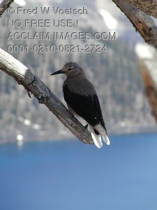 Photos of Crater Lake - Bird On a Branch