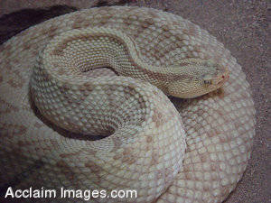 Stock Photography of a Neotropical Rattlesnake