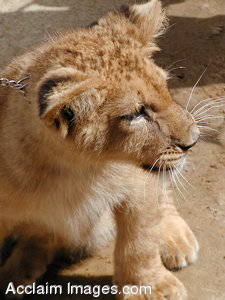 Stock Photo of a Lion Cub
