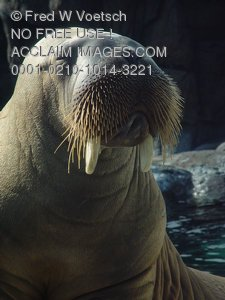 Picture of a Walrus