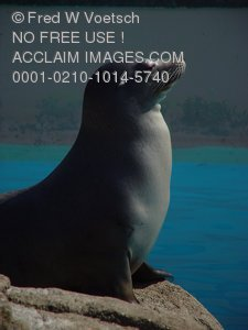 Stock Photo Clipart of a Seal