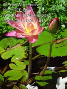 Lily Pond Pictures and Photos