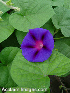 Photographs of Morning Glory Flowers