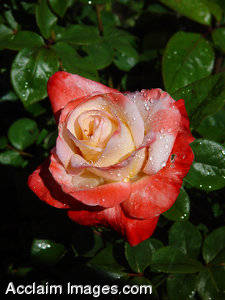 Picture of a Light Red Rose