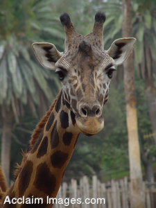 Stock Clipart Image of a Giraffe Looking Directly at the Camera