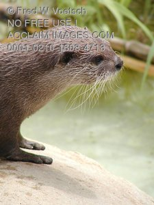 Photos of a River Otter