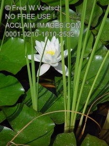 Water Lily Pictures, Photos and Photographs