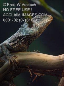 Frilled Lizard Pictures, Photos and Photographs