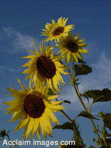 Stock Photo of  Sunflowers