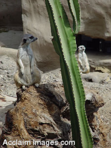 Stock Clipart Photograph of Two Meerkats in the Desert