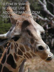Funny Looking Giraffe Pictures