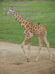 Baby Giraffe Pictures, Photos and Photographs