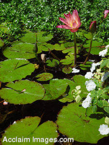 Stock Photo of a Pond with Water Lilies