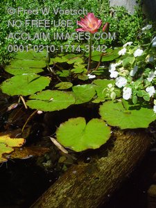 Photographs, Pictures and Photos of Lily Ponds
