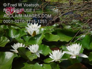 Pictures of Water Lilies
