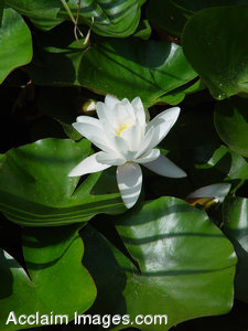 Stock Photo of a White Water Lily