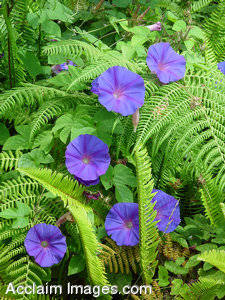 Stock Photo of Purple Morning Glories and Ferns