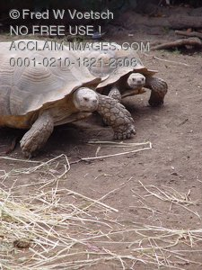 Pictures of Turtles Racing