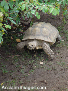 Stock Photo of a Turtle Walking by Bushes