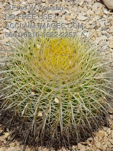 Pictures, Photographs and Photos of Barrel Cactus