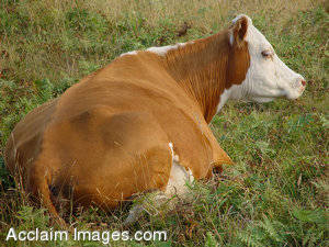 Stock Photo of a Cow