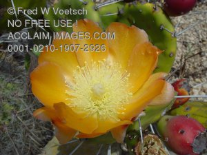 Desert Flower Pictures, Photos and Photographs