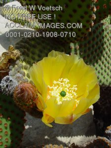 Pictures, Photos and Photographs of Cactus Flowers