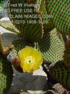 Flowers of The Desert Pictures and Photos