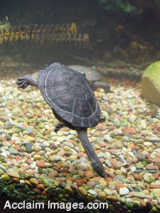 Stock Clipart Image of a Snake Necked Turtle Swimming