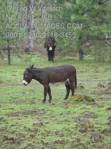 Stock Photos of Donkeys in a Pasture