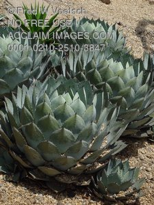 Pictures and Photos of Succulent Plants