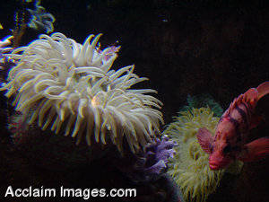 Photograph of Fish and Sea Anemone
