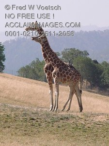 Pictures, Photos and Photographs of Giraffes