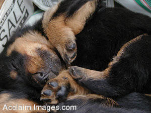 Stock Image of a Sleeping Rottweiler Puppy