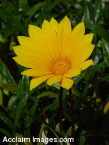 Yellow Flower Photographs