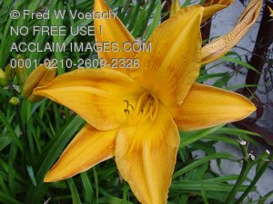 Daylily Pictures, Photos and Photographs