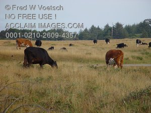 Pictures of Cows in a Field