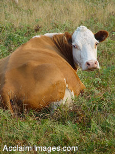 Stock Photo of a Cow Laying Down, Looking at the Camera
