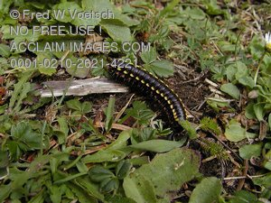 Millipede and Centipede Pictures, Photos and Photographs