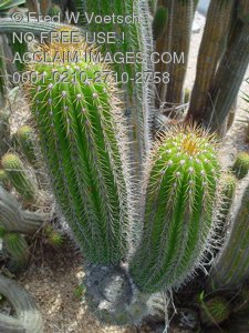 Cactus Photos, Pictures and Photographs