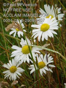 Daisy Photographs, Pictures and Photos