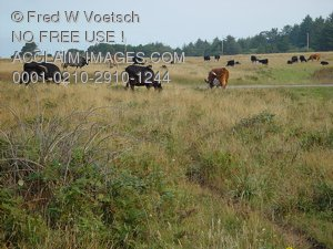 Pictures of Cows in a Pasture