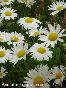Stock Photography of White Daisies