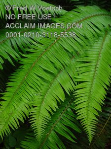 Clip Art Stock Photo of Lush, Green Ferns Growing in The Redwood Forests of Northern California